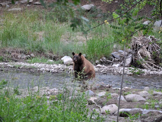 bear-in-stream
