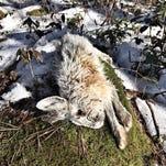 Tyler Frantz: Nabbing showshoe hare was highlight of break