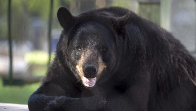 A black bear sits at the picnic table in its enclosure at the Naples Zoo.