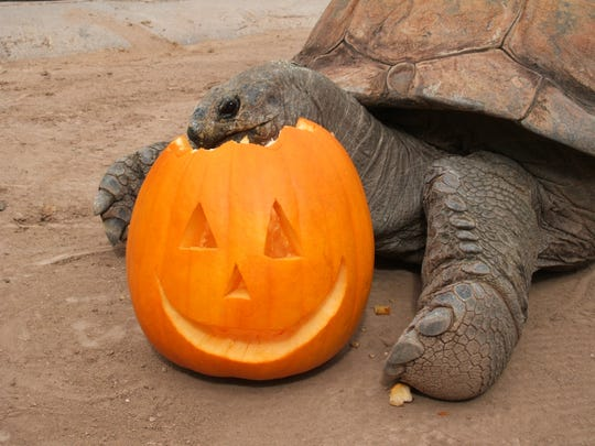 This year, the Phoenix Zoo is combining its Boo at
