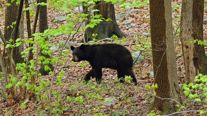 A bear is spotted in Wharton in this 2009 file photo. A Category 1 black bear that broke into a Denville home was shot and superficially wounded before escaping authorities in Denville on July 12, 2016.