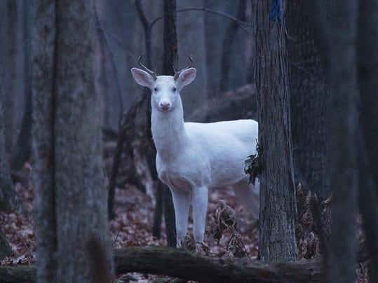 white deer1