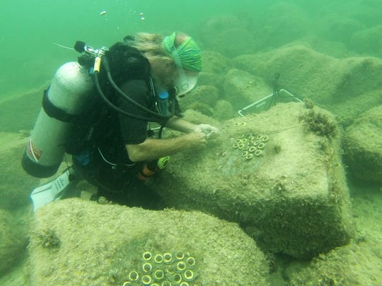 Mote Marine Laboratory scientist David Vaughan plants coral at Fort Zachary Taylor State Park in Key West.