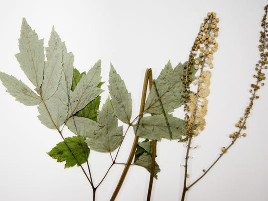 A mature black cohosh plant typically grows to 4 feet to 6 tall and features flowers that tower over the dark green leaves. The plant was the fourth-highest selling supplement in mainstream stores in 2014, yet no Western North Carolina business exists to take the indigenous plant and transform it into an herbal supplement.