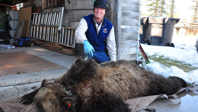 """Mike Madel, a grizzly bear management specialist with Fish, Wildlife and Parks, says this grizzly bear was captured on the outskirts of Choteau where it was feeding on fruit in a residential area. It was relocated to another area. """"The bear was very fat,"""" Madel said."""