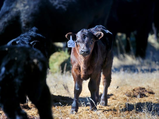 A calf born this month at the Midway Ranch looks curious.