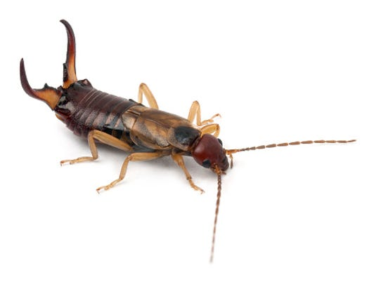Earwigs can travel quite a distance to find food and