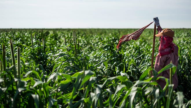 A migrant farm worker marks the row of sorghum the workers are walking and working in Plainview, Texas, on Aug. 18, 2015.