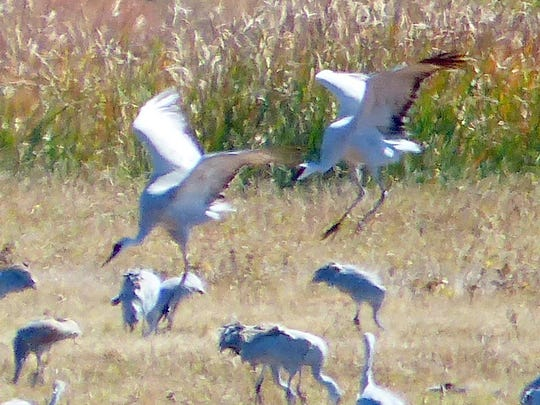Two sandhill cranes come in for a landing at a feeding area.