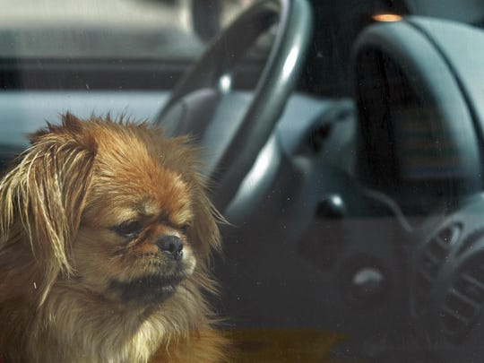 A dog sits inside a hot car.