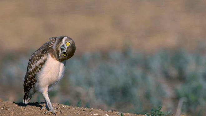 A burrowing owl tilts its head in a 2012 photo. The burrowing owl's habitat includes desert regions in Southern California. It is one of many bird species that the National Audubon Society predicts will be threatened by climate change.