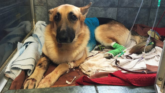 Haus, a German Shepherd, recovers from a snake bite in Tampa, Fla., on May 13, 2016.