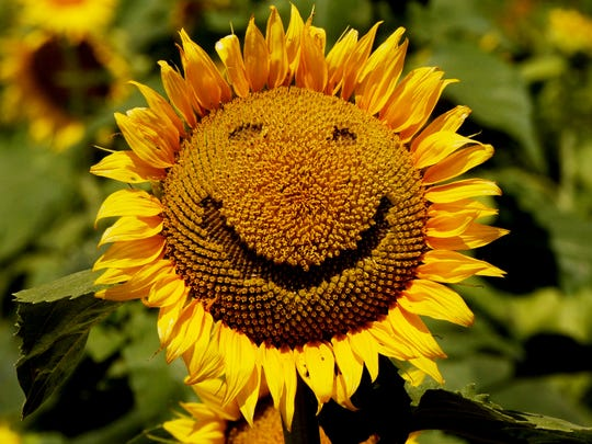 The 19th Sunflower Trail & Festival is June 17. The trail is along Hwy 3049 off Grimmet Drive to Gilliam – also known as Old Dixie-Shreveport Road - which includes the horseshoe-shaped Sentell Road.The day's events are  from 9 a.m. to 3 p.m. But organizer Gilliam City Councilwoman Karen Logan said sunflowers are opening and fans might want to drive up and shoot photos to enter in the 2017 Photography Contest.