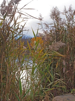 Common reed can spread by both seed dispersal and root (rhizome) fragments.