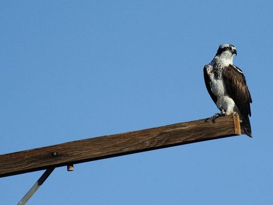 Osprey on utility pole