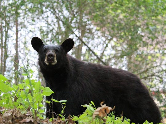 A black bear like this one spotted in Rockaway Township, New Jersey, has been seen in Delaware and Maryland.