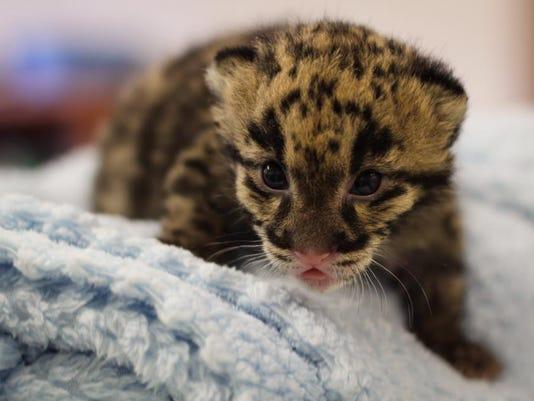 nashville zoo s clouded leopard cub named niran