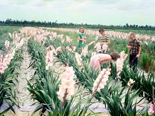 Fort Myers was once the gladiolus capital of the world with 30 local growers cultivating over 2,500 acres, employing more than 1,000 workers, and shipping almost 45 million dozen gladioli annually.