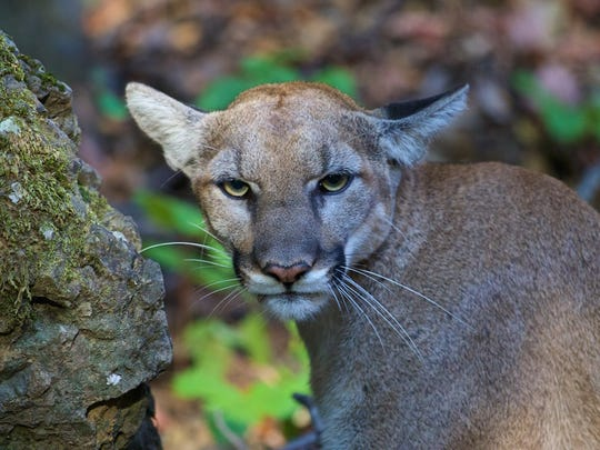 P-42, a female cougar in the Santa Monica Mountains, was outfitted with a GPS collar in July 2015.