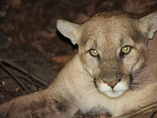 About 9 years old, a male mountain lion dubbed P-27