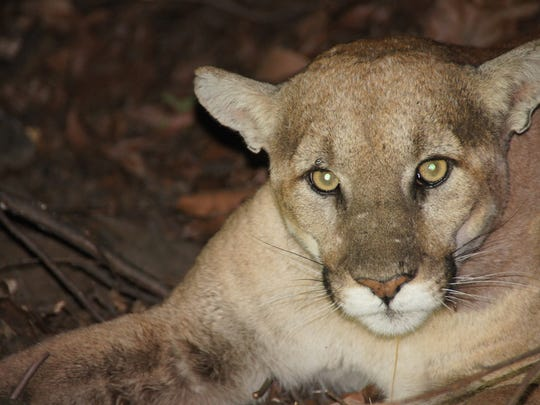 About 9 years old, a male mountain lion dubbed P-27 lives in the eastern end of the Santa Monica Mountains.