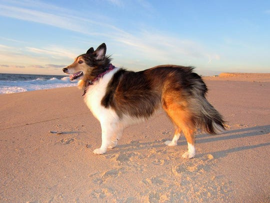 Polly on vacation at Point Pleasant Beach in 2013. The Shetland sheepdog retired from therapy dog work in 2016, and her owner, Linda DeYoung, is training her successor, Gavin.