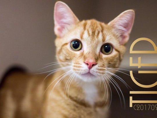 Tiger is a beautiful male orange striped kitten. He