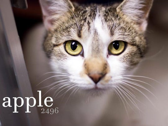 Apple is a beautiful adult female domestic shorthair