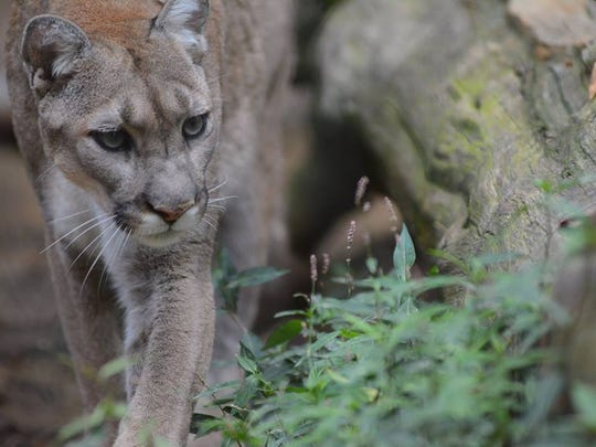 A cougar steathily navigates its habitat in the Jackson Zoo on Aug. 5, 2017.