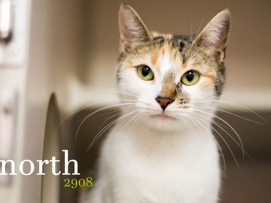 North is a gorgeous young male domestic shorthair with