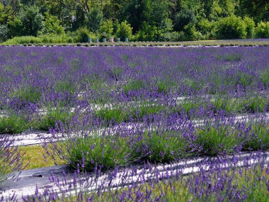 636658617698841070-Indigo-lavender-farms.JPG