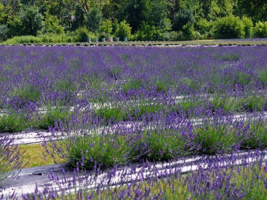 Indigo Lavender Farms in Imlay City, which began in