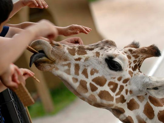 The giraffe exhibit will be open when the NEW Zoo reopens Wednesday in Suamico, but visitors will have to wait to be able to feed them.