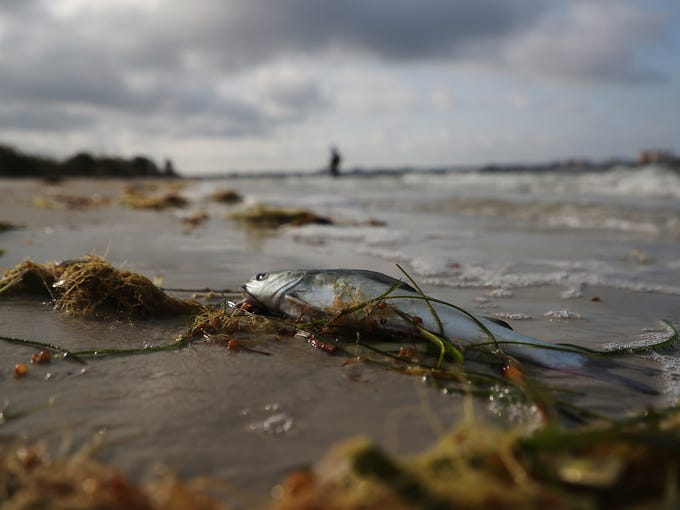 A dead fish rests on the shoreline on Bunche Beach