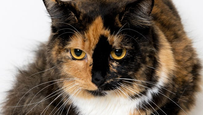At just two years old, Daisy has already proven she is a patient cat as she waits for her forever home.