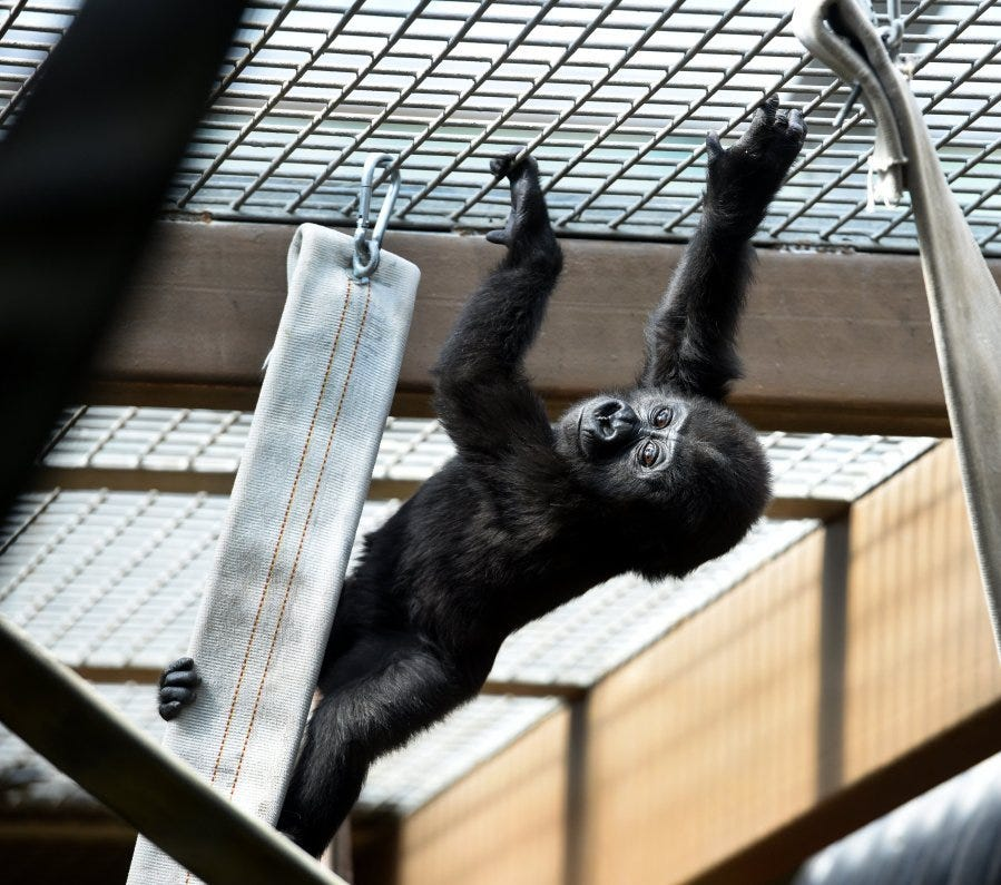 Zoo Knoxville baby gorillas turn 1 and the zoo will host a party