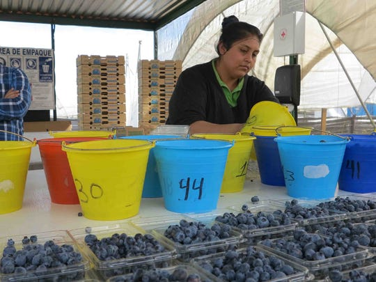 A woman sorts and packs blueberries in clamshell containers at the Granaditos berry farm in Ciudad Guzman in Mexico's Jalisco state. The farm provides berries for Hortifrut, a Chilean company operating in Mexico.