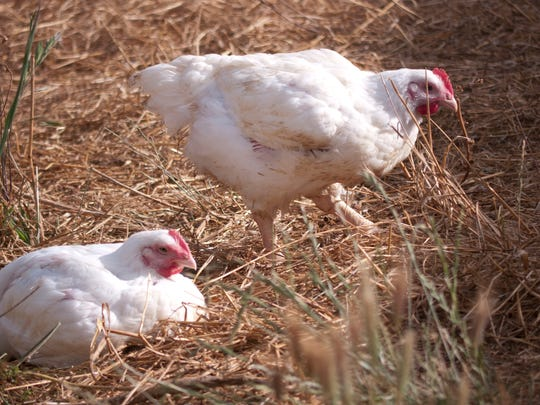 Two of Perdue Farms' organic chickens roam outside at one of its farms.