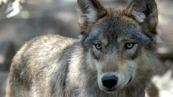 The Michigan DNR is appealing a federal court's decision to place Michigan's wolves back on the endangered species list.