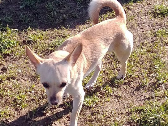 Drago is a 2-year-old, 10-pound, neutered-male chihuahua