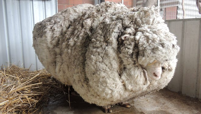 In this photo provided by the RSPCA/Australian Capital Territory, an overgrown sheep found in Australian scrubland is prepared to be shorn in Canberra, Australia, Thursday, Sept. 3, 2015. The wild, castrated merino ram named Chris, yielded 40 kilograms (89 pounds) of wool — the equivalent of 30 sweaters — and sheded almost half his body weight. (RSPCA ACT/ via AP) EDITORIAL USE ONLY, NO SALES