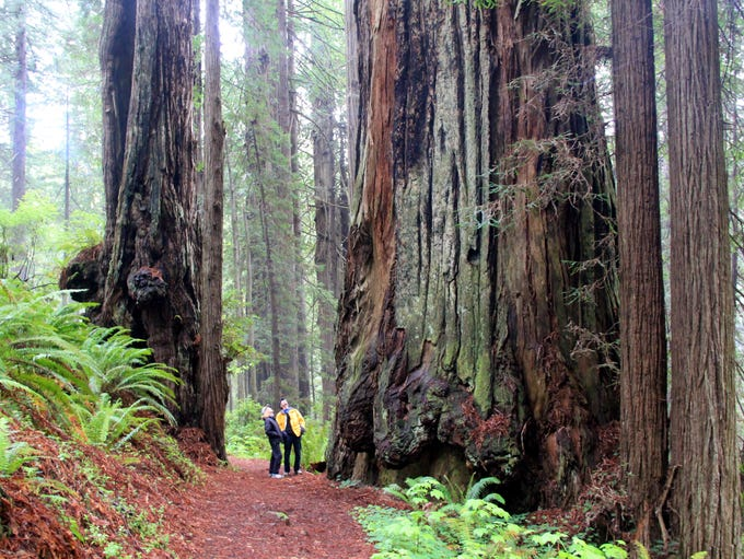 James Irvine Trail in Prairie Creek Redwoods State Park features some of the tallest trees in the world.