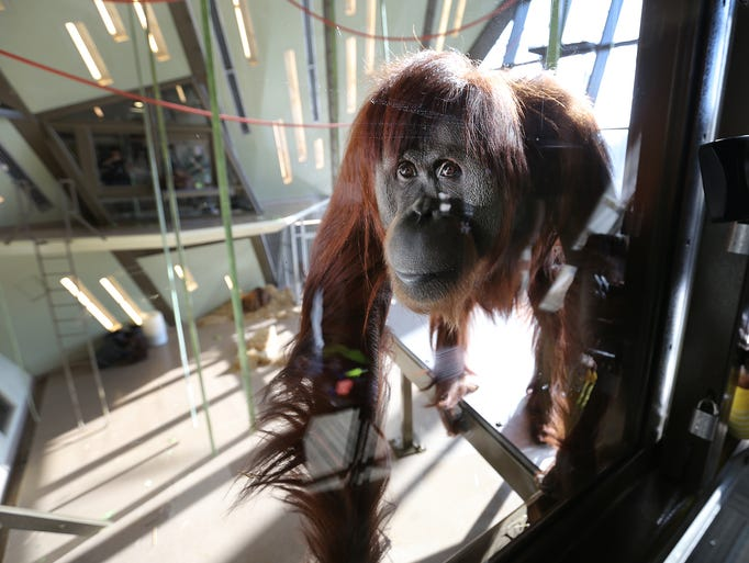 Katy at the International Orangutan Center at the Indianapolis Zoo. The eight orangutans got to meet the local media Thursday morning at the zoo. The official opening of the center will be on Memorial Day weekend.