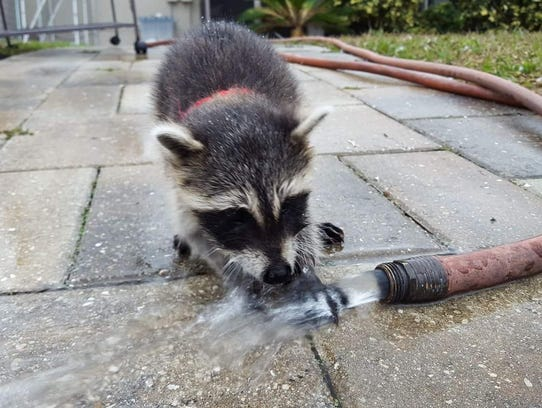 Mikey and Andy, a pair of raccoons were saved as cubs