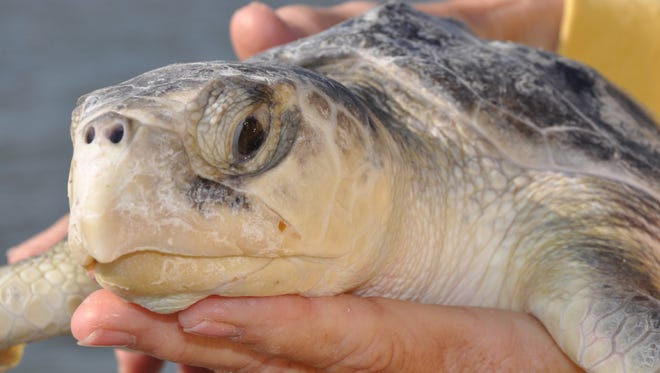 The Kemp's ridley is the world's most endangered sea turtle, and a recent paper describes how red tide affects them.