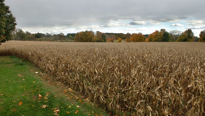 Area at a corn field, scene of a suspicious death in Pittsford, N.Y. on Thursday, October 24 2013. The body was found about two hundred yards into a corn field property of the Powers family.
