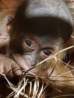 The Jackson Zoo's newest resident, an unnamed male Bornean orangutan, takes a peek at his new world.