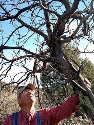 Master Gardener, Gary Stailey contemplates a century old tree located at Fort Bayard Historic Orchard. Stailey helped identify tree species during the effort to map the historic orchard.