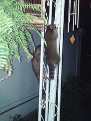 These two raccoons were climbing at the home of Brenda Thurston on Payne Street. She said they sometimes come around when she feeds feral cats in the neighborhood.