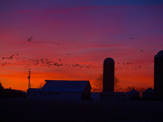 Sandhill cranes fly past grain silos on a farm in Cecilia,